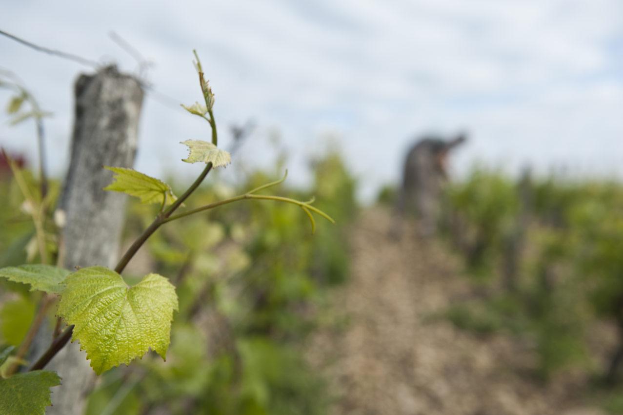 Travail dans les vignes © romain beaumont
